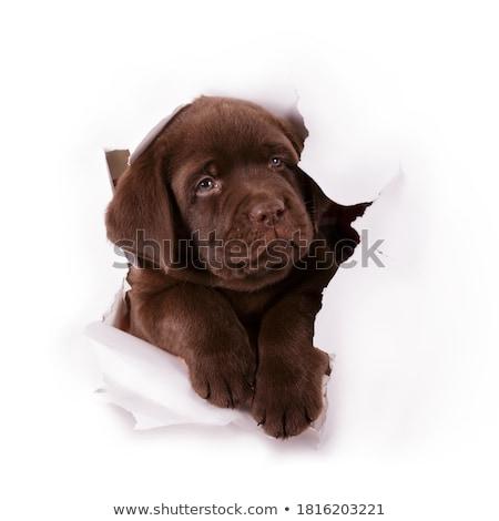 Csokoládé labrador fehér háttér stúdió díszállat Stock fotó © eriklam