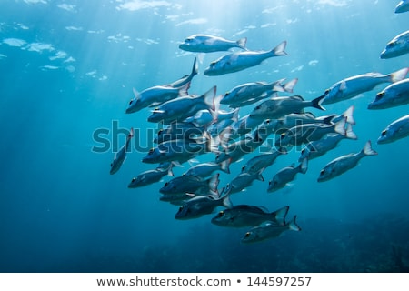 Grunt Fish swim Stock photo © Laracca