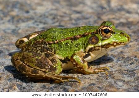 frog pelophylax perezi stock photo © studiotrebuchet