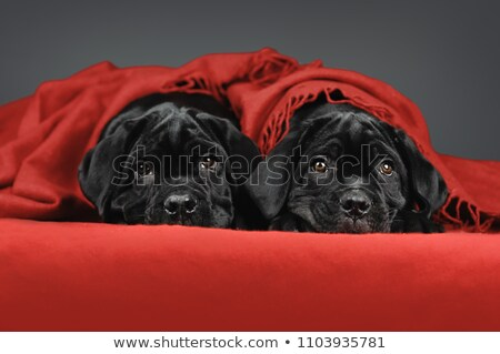 very young puppy cane corso Stock photo © cynoclub