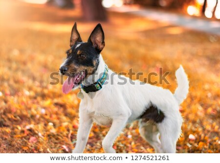 man and fox terrier in agility Stock photo © cynoclub