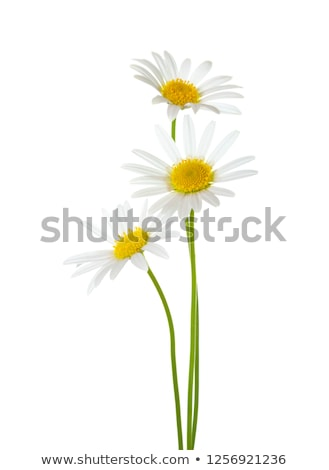 three daisies on a white background stock photo © leeavison