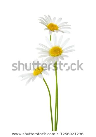 three daisies on a white background stock photo © leeavison