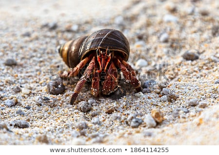 Beautiful hermit crab in his shell closeup Stock photo © zhekos