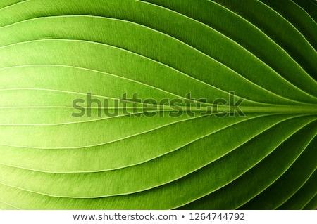 Green Leaf (Macro) Stock photo © ildi