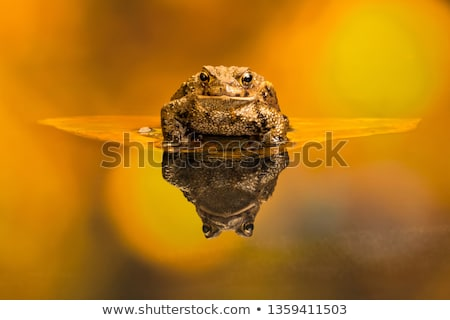 common toads detail Stock photo © prill