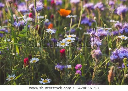 красивой Полевые цветы луговой Blue Sky небе солнце Сток-фото © Julietphotography