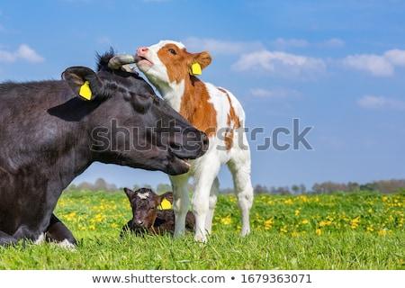 Tehén család testtartás baba szem természet Stock fotó © dagadu