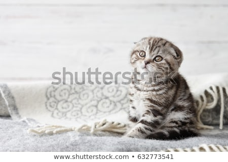 Scottish fold kitten Stock photo © Alenmax
