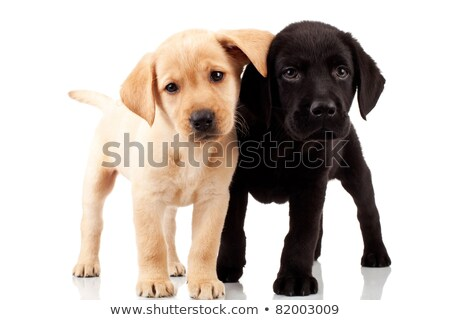 labrador retriever puppy dog looking at something stock photo © feedough