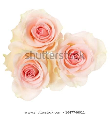 perene · prímula · primavera · jardim · flores · belo - foto stock © stootsy