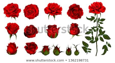 Rose Red fiorire rosso amore rosa bella Foto d'archivio © wavebreak_media