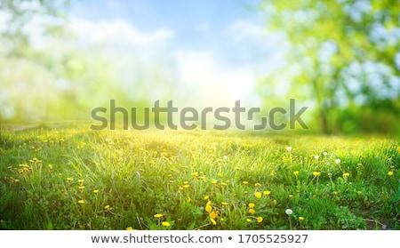 Amarelo dandelion flor primavera Foto stock © Arrxxx