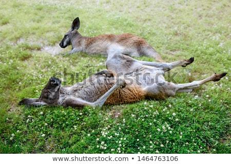 Twee kangoeroe dier ouder Stockfoto © mayboro1964