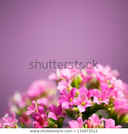Beautiful verbena close up background Stock photo © Julietphotography