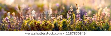 Mavi kır çiçeği güzel yüksek kök beyaz Stok fotoğraf © cosma
