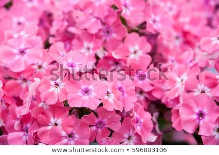 Pink Flowers of Phlox paniculata Stock photo © tainasohlman