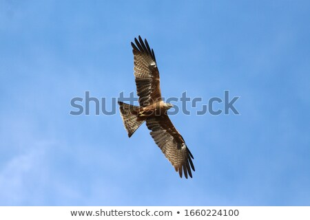 Yellow-billed Kite Stock photo © dirkr