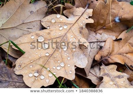 Leaf with raindrops Stock photo © ptichka