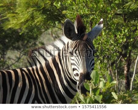 シマウマ リザーブ 南アフリカ 自然 世界 旅行 ストックフォト © compuinfoto