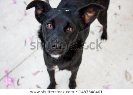 黒 犬 クローズアップ 肖像 眼 動物 ストックフォト © nialat