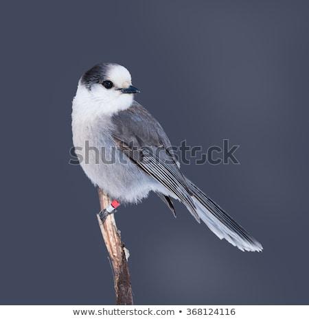 серый · виски · птица · смотрят · животного · живая · природа - Сток-фото © cboswell
