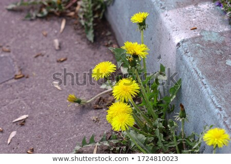 Tarassaco crescita piccolo giallo pietra bordo Foto d'archivio © gewoldi