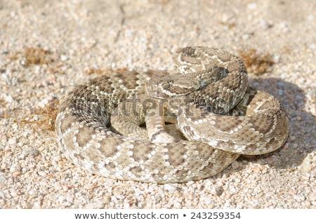 A mojave green rattlesnake found Stock photo © Witthaya