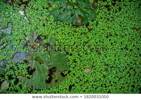 big old tree with green water algae stock photo © ziprashantzi
