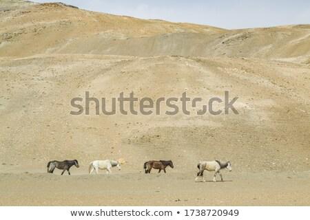 Stok fotoğraf: Atlar · göl · güzel · sabah · gündoğumu · kuzey