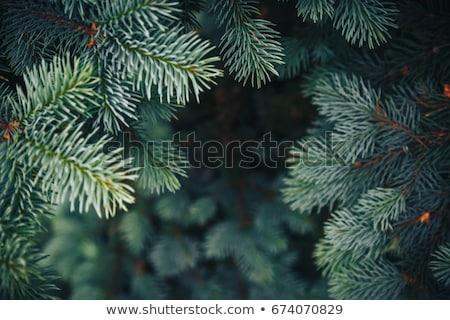 Pijnboom tak groene pluizig pine geïsoleerd Stockfoto © orensila