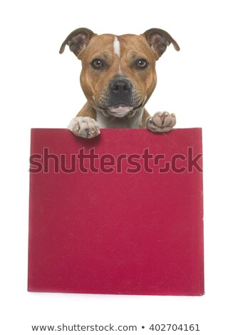 stafforshire bull terrier and box Stock photo © cynoclub