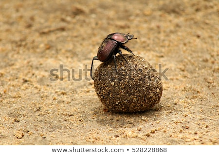 a dung beetle rolling a ball of dung on the road stock photo © simoneeman