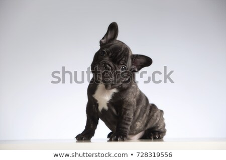 Foto stock: Buldogue · retrato · cinza · foto · estúdio · cão