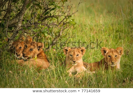 Lion cubs relaxing in the grass.  Stock photo © simoneeman