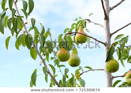 Maduro peras ramo fruto comida Foto stock © stevanovicigor