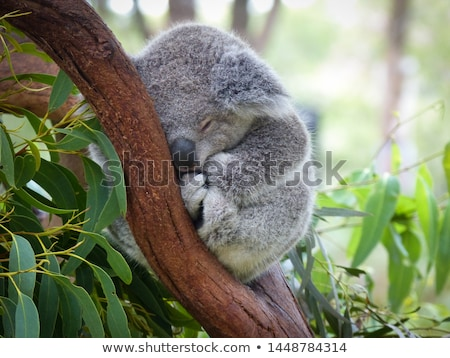 Stock photo: Koala in a eucalyptus tree.