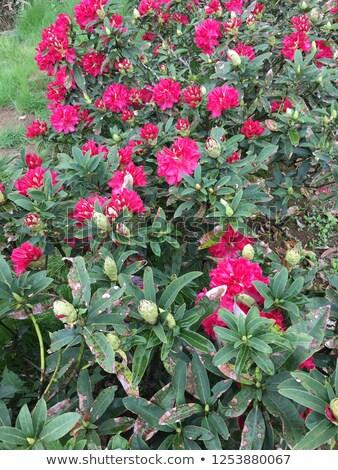 Flores completo florescer primavera belo decorativo Foto stock © Klinker