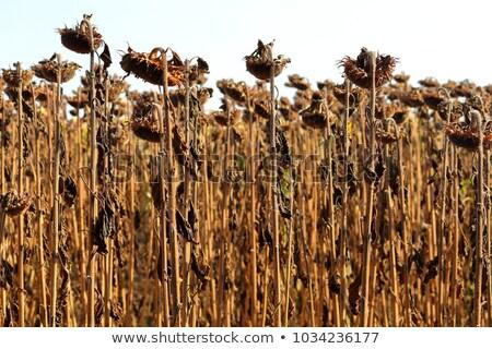 Felder Nutzpflanzen Farbe Englisch niemand Stock foto © IS2