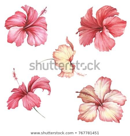 tropicales · hibisco · flores · imagen · tarjeta · invitación - foto stock © margolana
