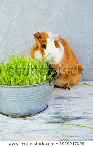 Redhead  guinea pig near vase with fresh grass. Stock photo © Illia