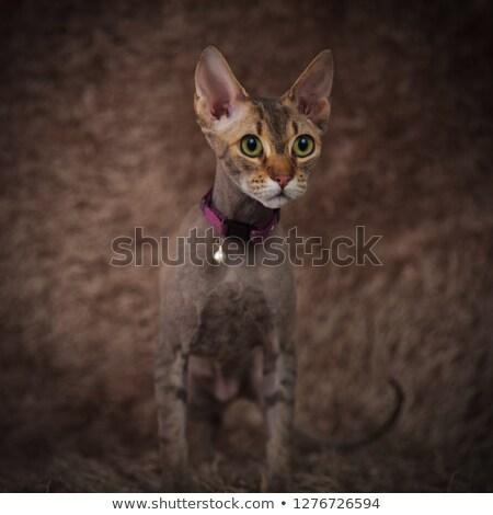curious sphynx cat wearing purple collar standing on fur Stock photo © feedough