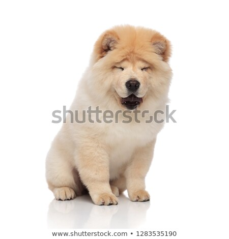 adorable yellow chow chow sitting with mouth open Stock photo © feedough