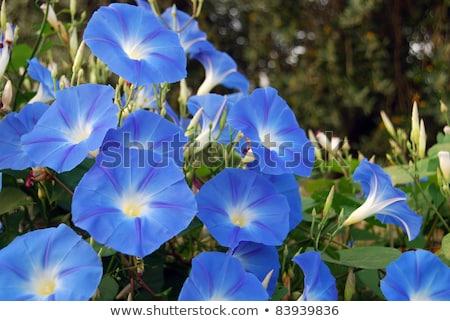 Ochtend glorie bloem Blauw kleur illustratie Stockfoto © colematt