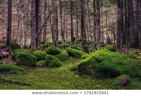 Mossy Woods Stock photo © craig