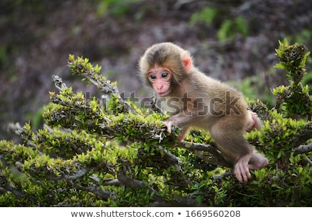 日本語 赤ちゃん 猿 公園 京 日本 ストックフォト © daboost
