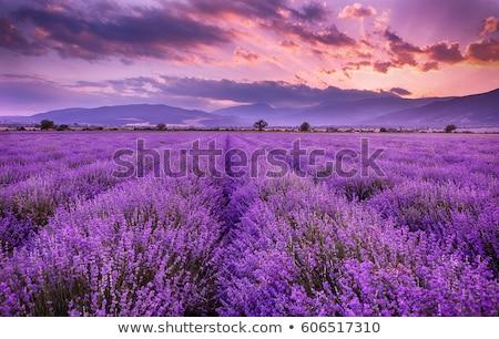 Campo de lavanda árvore verão escuro blue sky França Foto stock © neirfy