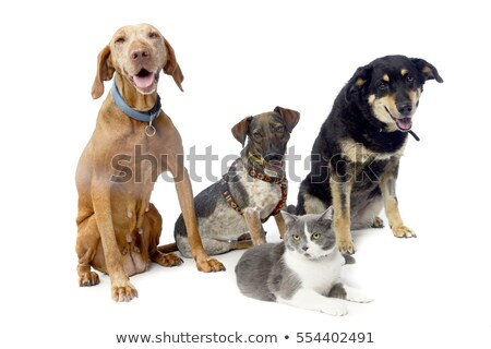 studio shot of a hungarian vizsla two mixed breed dog and a cat stock photo © vauvau