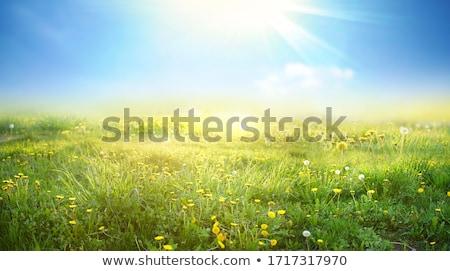 зеленая трава области желтый одуванчик лет природы Сток-фото © karandaev