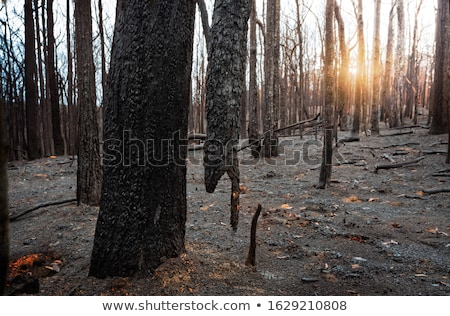 Suspended burnt tree in a burnt out area in Blue Mountains Stock photo © lovleah